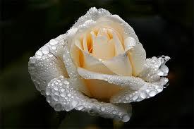 Rosa blanca con rocío