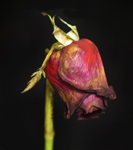 Rosa marchita