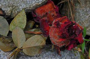 Rosas marchitas