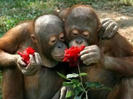 Monos oliendo una rosa