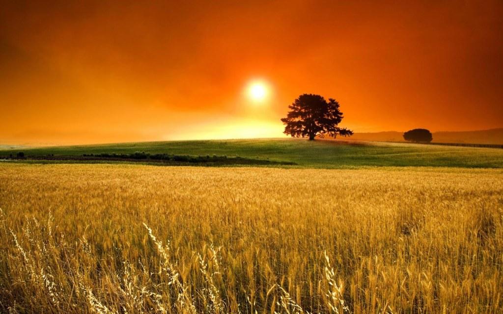 Atardecer en un campo de trigo con un árbol al fondo